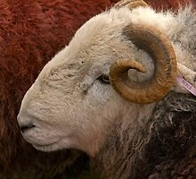 Herdwick Sheep 1 by Alan Roberts