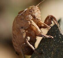 Sonbesie-nimf  -  Cicada Nymph by Rina Greeff