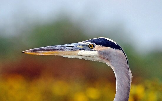 Great Blue Heron by venny