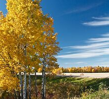 Golden Poplar by Linda Bianic