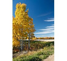 Golden Poplar Photographic Print
