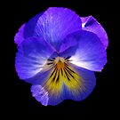 Purple Pansy on Black. by Lee d'Entremont