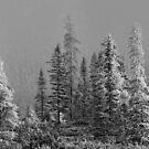 Algonquin Forest by Bill Maynard