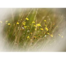 A flock of tiny yellow flowers Photographic Print