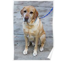 Gipper Lab Retriever Dog By Jonathan Green Poster