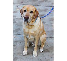 Gipper Lab Retriever Dog By Jonathan Green Photographic Print