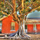 """""""Moreton Bay Fig Tree"""" by jonxiv"""