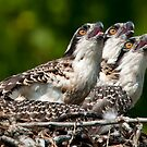Osprey Chicks by Bill Maynard