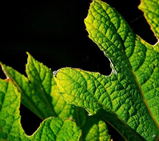 oak leaf hydrangea by Jean Poulton