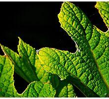 oak leaf hydrangea Photographic Print