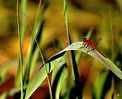 dragonfly  by Jean Poulton