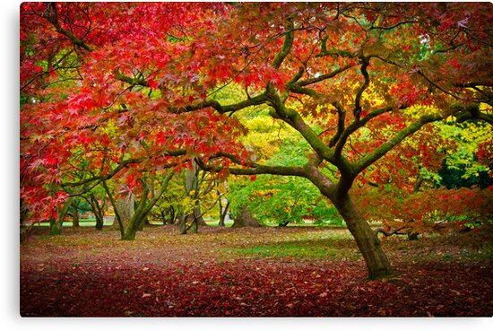 Acer Glade, Westonbirt Arboretum, England by Giles Clare