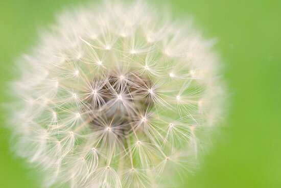zesty twist on the dandelion by startori