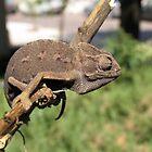 Chameleon 2 by IrinaBudovsky