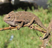 Chameleon 4 by IrinaBudovsky