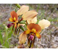 Donkey Orchid - Dunsborough - WA Photographic Print