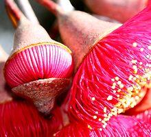 Eucalyptus caesia flowers by calummaimages
