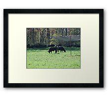 Cows Grazing on a Warren Wilson field Framed Print