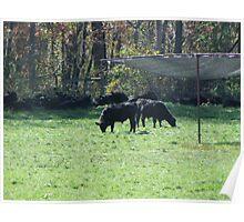 Cows Grazing on a Warren Wilson field Poster