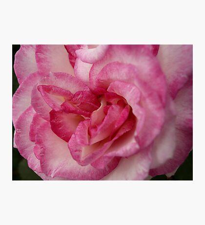 Rose Garden 11 Photographic Print