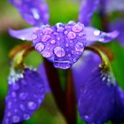 Rain Drops on a Purple Iris by Erika  Hastings