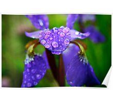 Rain Drops on a Purple Iris Poster