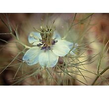 Love in a Mist -- Nigella Photographic Print