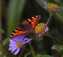 Small Tortoiseshell Butterfly by Kat Simmons