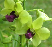 Green Orchids in Puna by ronholiday