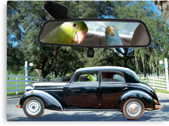 Driving Miss Daisy Parrotlet Birds driving in Florida by Rick Short