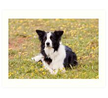 Border Collie in a field of Yellow Flowers Art Print