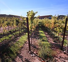 Sunlit Vines by Laurie Search