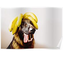 Bananas! German shepherd with bananas on head Poster