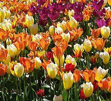 A Tulip Display by Jann Ashworth