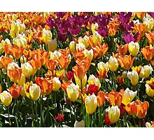 A Tulip Display Photographic Print