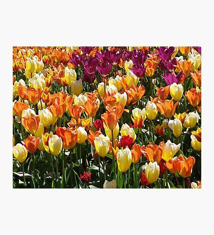 A Tulip Display Photographic Print
