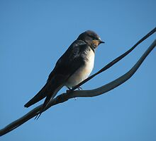 Fledgling Swallow awaiting migration. by josephbdoyle