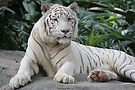 White Tiger 4 by Leanne Allen