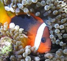 clown fish by dpbphotography