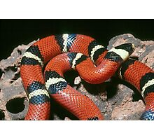 Banded King Snake - Mexico Photographic Print