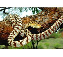 Brown Tree Snake - Australia Photographic Print