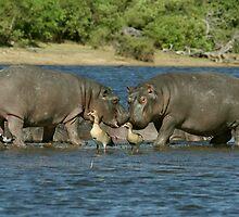 Hippos - Botswana by Austin Stevens