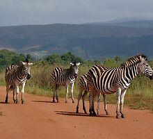 Zebra Herd - Swaziland by Austin Stevens
