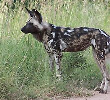 African Wild Dog by KAt-dan-Painter
