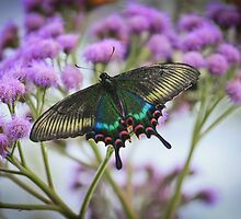 Paris Peacock Butterfly by T-Williams