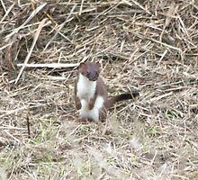 Playful Stoat by dilouise