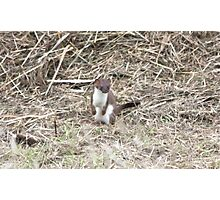 Playful Stoat Photographic Print
