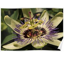 Passionflower Passieflora Poster
