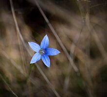 Australian Bluebell by SteveB54