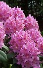 Pink Rhododendron by LoneAngel
